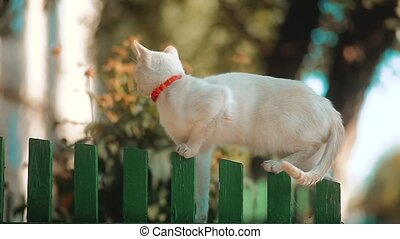 Beautiful white cat walking on wooden fence under the blue...