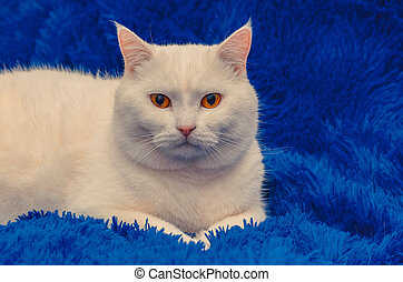 beautiful white cat with yellow eyes on a blue background
