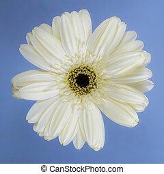 Beautiful white chrysanthemum on white background.