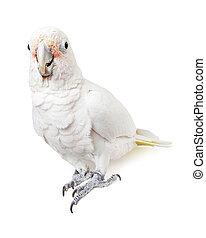 Beautiful White Cockatoo Bird Looking Forward