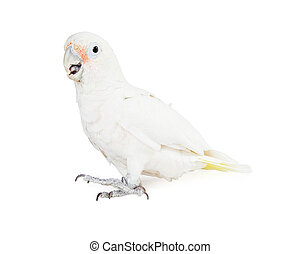 Pretty white Goffin's Cockatoo parrot bird isolated on white