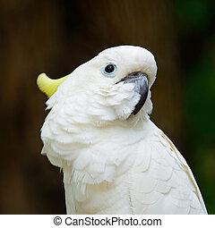 Sulphur-crested Cockatoo - Beautiful white Cockatoo, Sulphur...