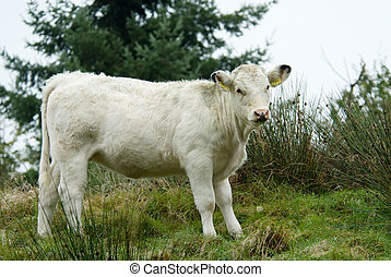 beautiful white cow on top of a hill
