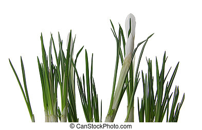 Beautiful white crocus