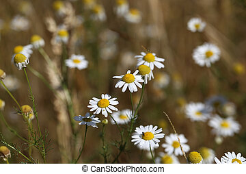 Beautiful white daisies on a blur from a sharp background