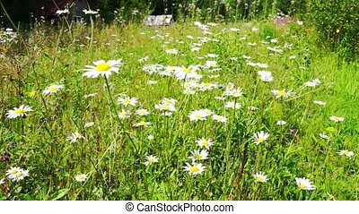 Beautiful White Daisy Flowers at Summer field