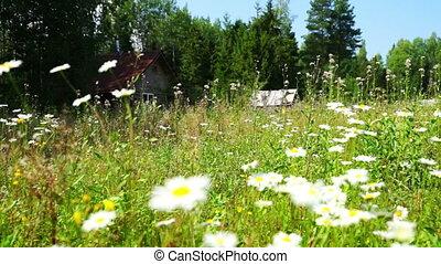 Beautiful White Daisy Flowers at Summer field