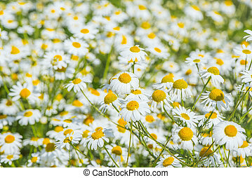 Beautiful white daisy flowers.