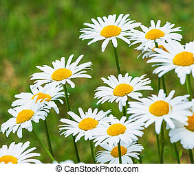 Beautiful white daisy flowers on the meadow.