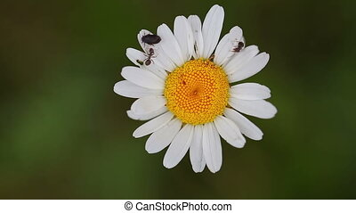 Beautiful white daisy growing in a spring...