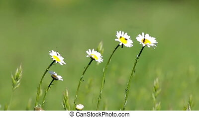 Beautiful white daisy growing in a summertime.(Leucanthemum...
