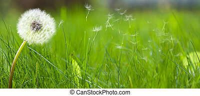 Beautiful white dandelion on a lawn with fresh green spring...