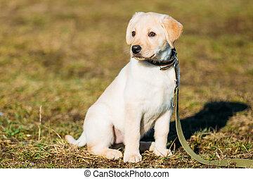 Beautiful White Dog Labrador Puppy Outdoor - Beautiful White...