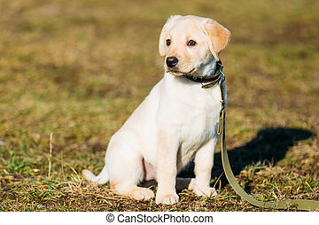 Beautiful White Dog Labrador Puppy Outdoor - Beautiful White...