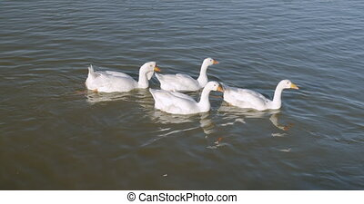 Beautiful white ducks swimming in lake.