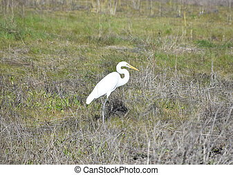 Beautiful White Egret in a Large Hay Field