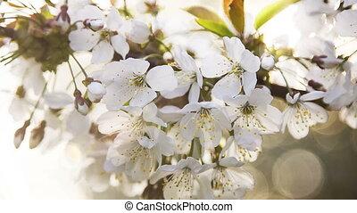 Beautiful white flower on the cherry branch, dof - Beautiful...