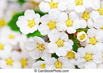 Beautiful white flowering shrub Spirea aguta (Brides wreath).