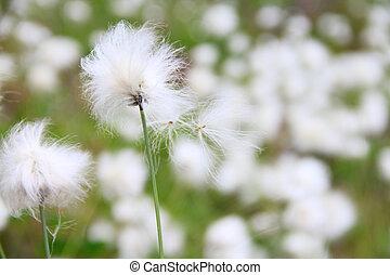 Eriophorum vaginatum - Beautiful white flowers od ...