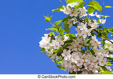 Beautiful white flowers of apple tree against blue sky
