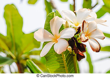 white flowers of Plumeria