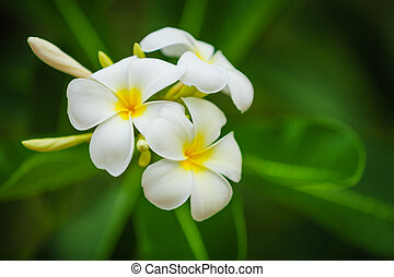 Beautiful white flowers of Plumeria (Frangipani) on blurred green foliage background
