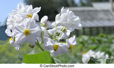 Beautiful white flowers of potato in the wind