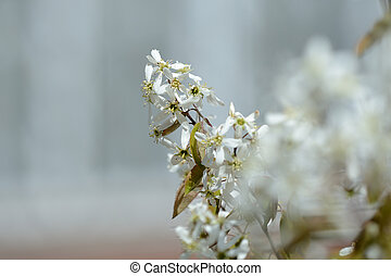 Beautiful white flowers on a young tree in spring