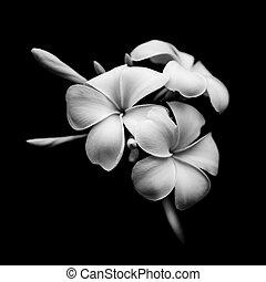 Beautiful white flowers Plumeria (Frangipani) isolated on black background