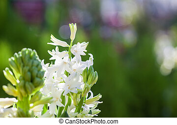 Beautiful white fragrant spring blossoming hyacinth with colourful green background