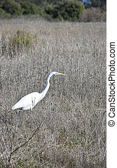 Beautiful White Heron in a Large Hay Field