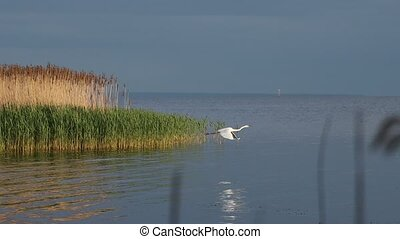 beautiful white heron slowly flies over the river, wildlife