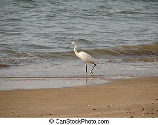 Beautiful white heron with crest standing at sandy seashore