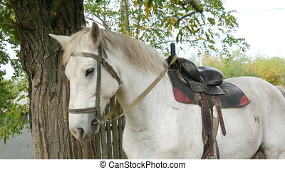 Beautiful white horse stallion saddled stands and grazes under a tree in autumn.