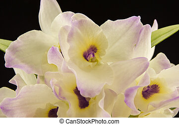 Beautiful white innocent orchid (Phalaenopsis) on a black background