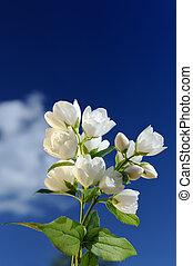 Beautiful White Jasmine Flowers Against Blue Sky