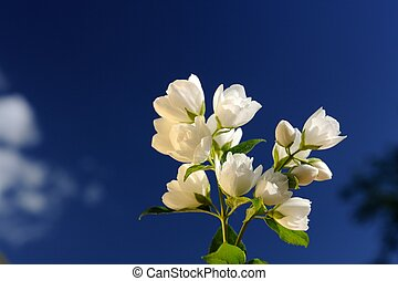 Beautiful White Jasmine Flowers on Bright Blue Sky Background