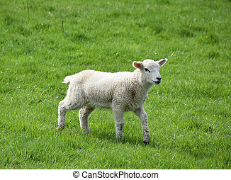 Beautiful White Lamb in a Field Thick with Grass