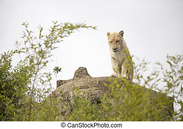 Beautiful white lioness