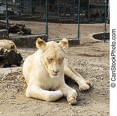 Beautiful white lioness