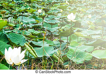 Beautiful white lotus blossom in a natural garden pond.