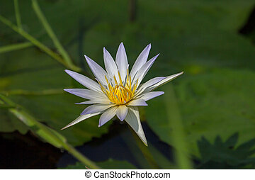 beautiful white lotus flower or water lily