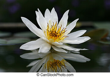 Beautiful white lotus in the pond