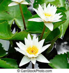 Beautiful white lotus in water