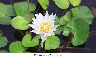 Beautiful white Lotus - Video shot of beautiful white flower...