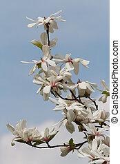 Beautiful white magnolia blossoms
