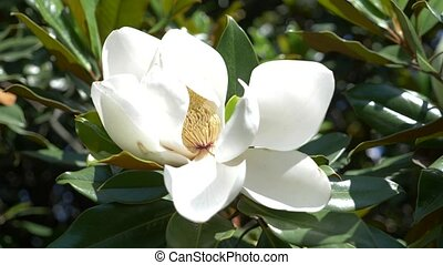 Beautiful white magnolia flower in a garden close-up. 4k, flower blown by the wind. Slow motion