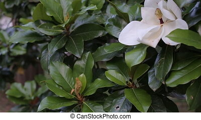 Beautiful white magnolia flower in a garden close-up