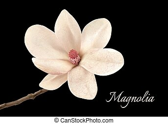 Beautiful white magnolia flower isolated on a black background. Vector.