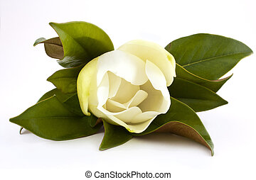white magnolia - beautiful white magnolia flower isolated on...